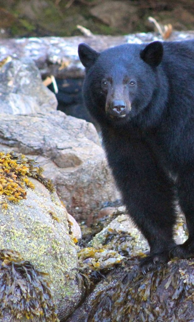 How to get to Bamfield - Black Bear